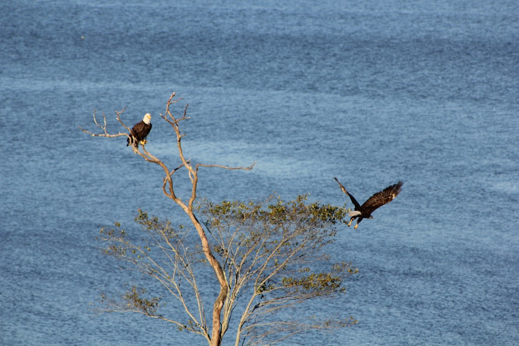 bald eagles on blue hill bay