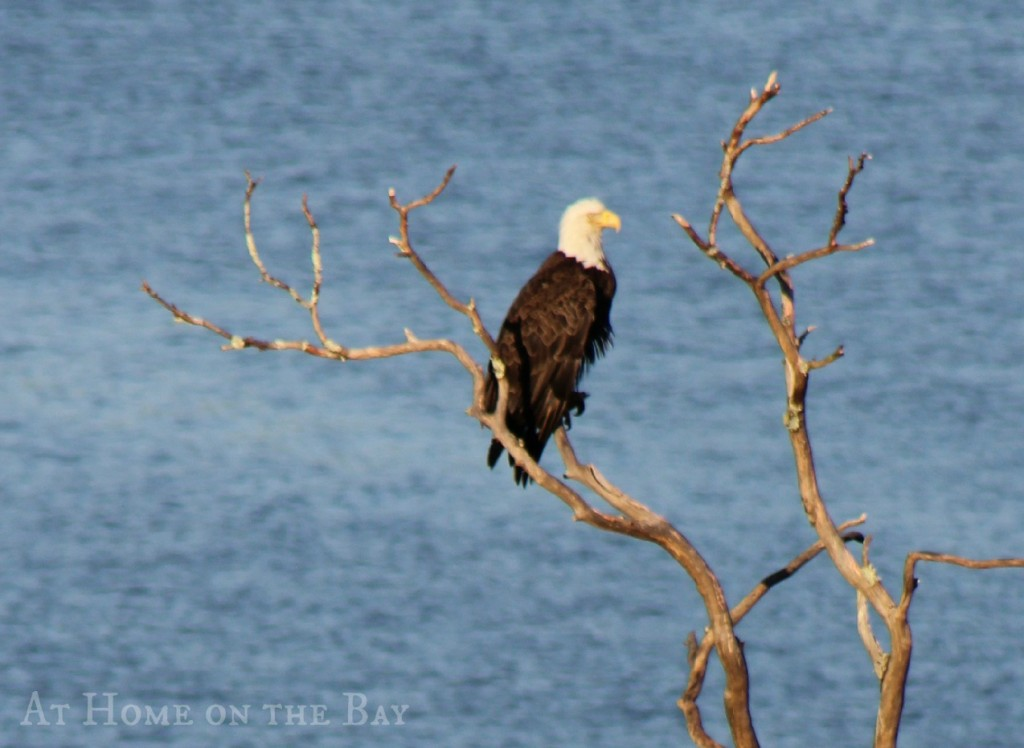 eagle on blue hill bay